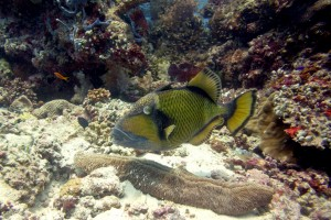 Titan Triggerfish in Koh Tao, an island of Thailand